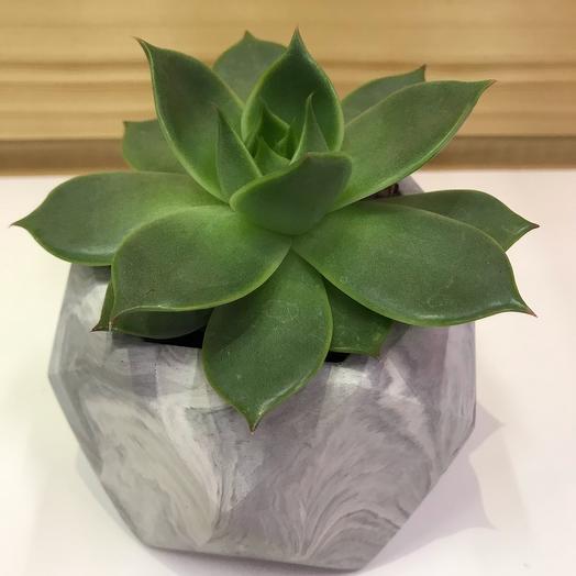 Суккулент Эхеверия в бетонном кашпо