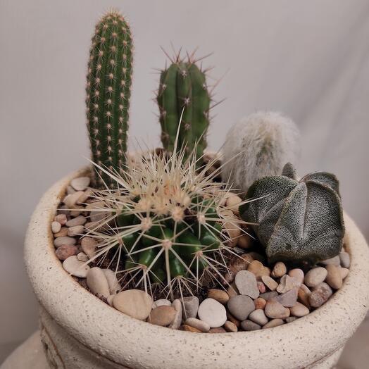 Композиция в керамическом горшке из кактусов