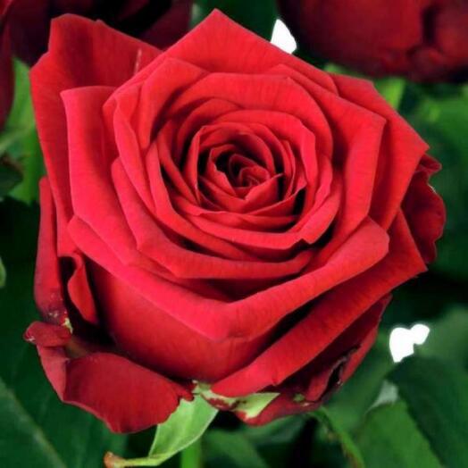 Красная роза 50см