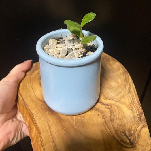 Маленькая крассула в керамическом горшочке