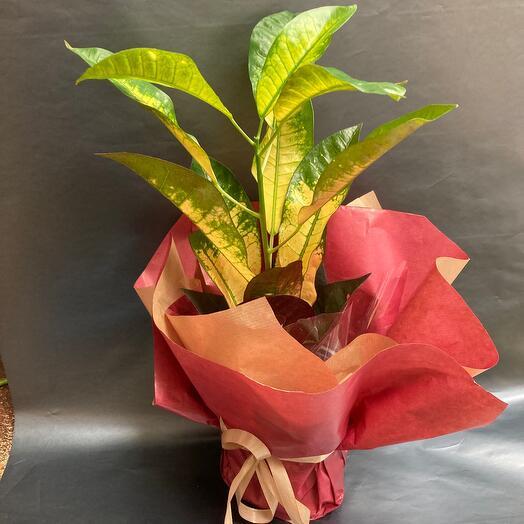 Комнатное растение-Кодиум