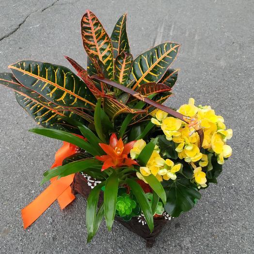 Корзина комнатных цветов «Радуга после дождя»: букеты цветов на заказ Flowwow