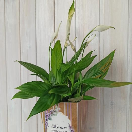 Спатифиллум горшечный: букеты цветов на заказ Flowwow