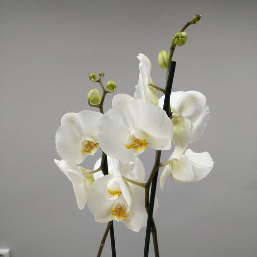 Фаленопсис 3 -рожковый