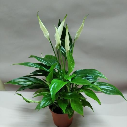 """Комнатное растение""""спацефилум"""""""