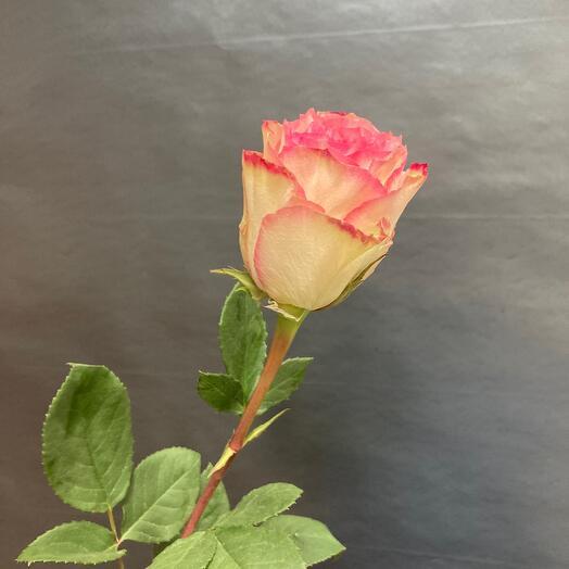 Роза сорта-Эсперанс 💜