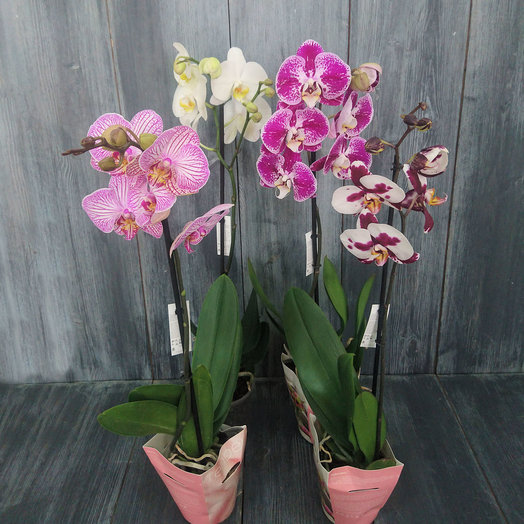 Орхидея Фаленопсис 1-ствол: букеты цветов на заказ Flowwow