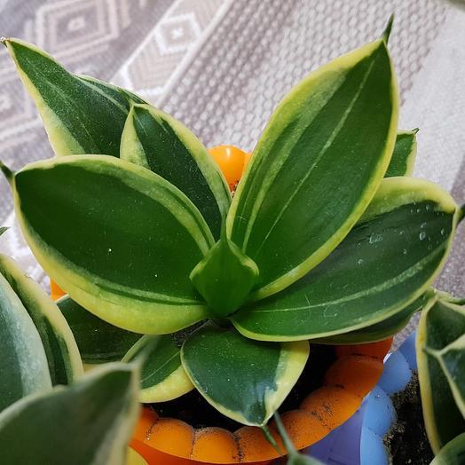 Сансевиерия низкорослая полосатая: букеты цветов на заказ Flowwow