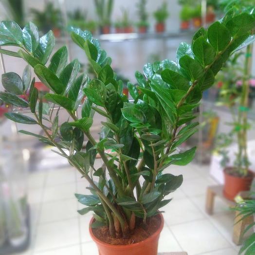 Комнатное растение. Замикулькас