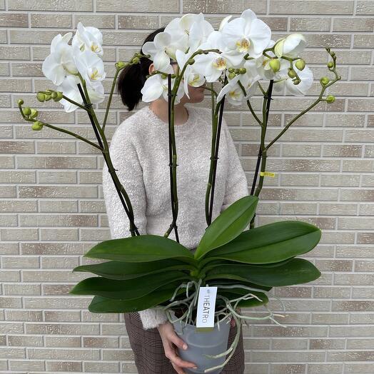 Королевская орхидея премиум