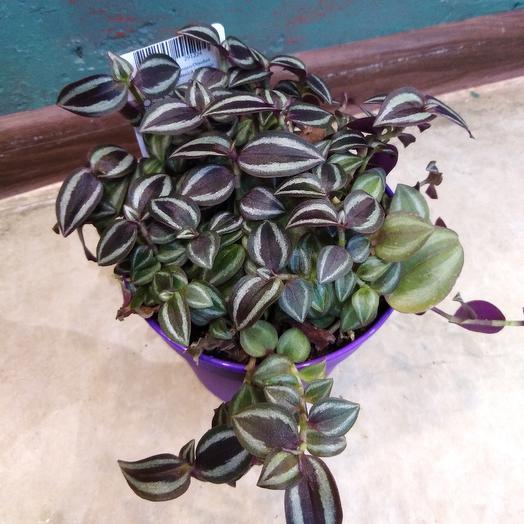 Традесканция микс: букеты цветов на заказ Flowwow