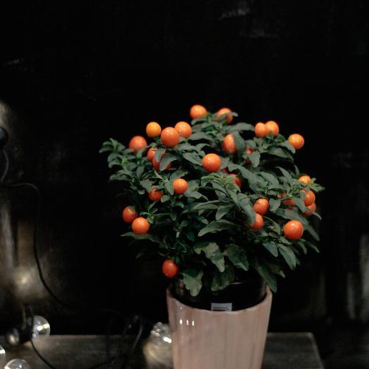 Капсикум в горшке: букеты цветов на заказ Flowwow