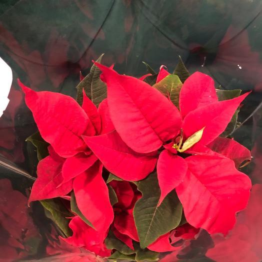 Пунсетия «Рождественская звезда»