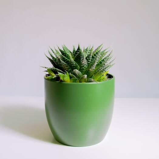 """Растение """"Алоэ Остистое"""" пересаженное в Зелёный горшок"""