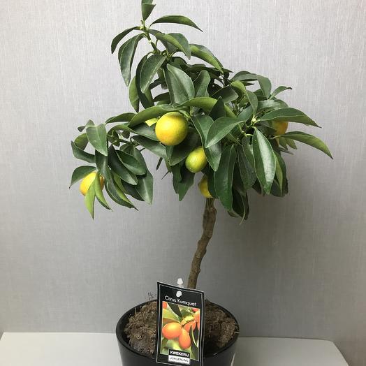 Золотой апельсин (Кумкват): букеты цветов на заказ Flowwow