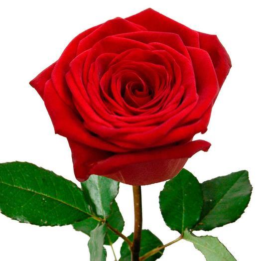 Роза 1 шт
