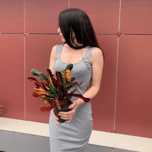 Кодиеум (Кротон) Мамми: букеты цветов на заказ Flowwow
