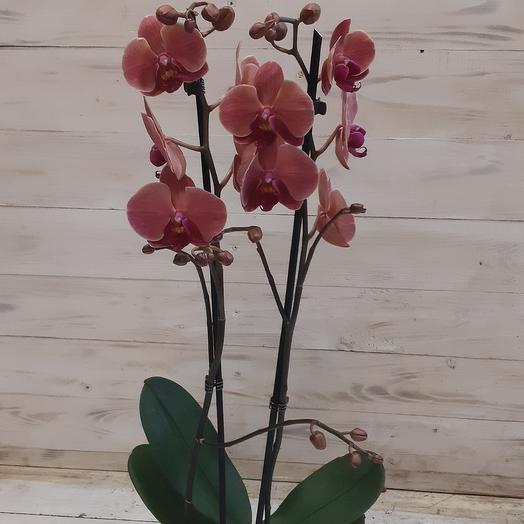 Орхидея фаленопсис сортовая двуствольная: букеты цветов на заказ Flowwow