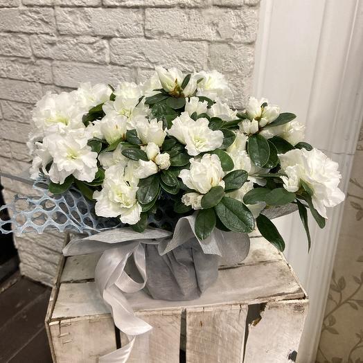 Крупноцветковая белоснежная азалия: букеты цветов на заказ Flowwow