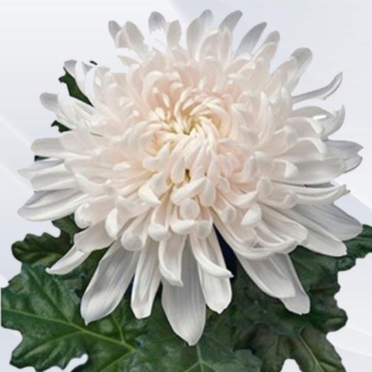 Хризантема одноголовая