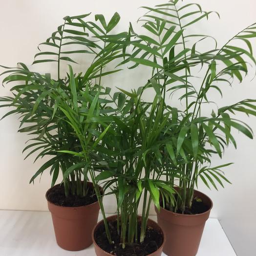 Комнатное растение Хамедорея