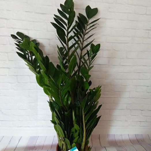Замиакулькас: букеты цветов на заказ Flowwow