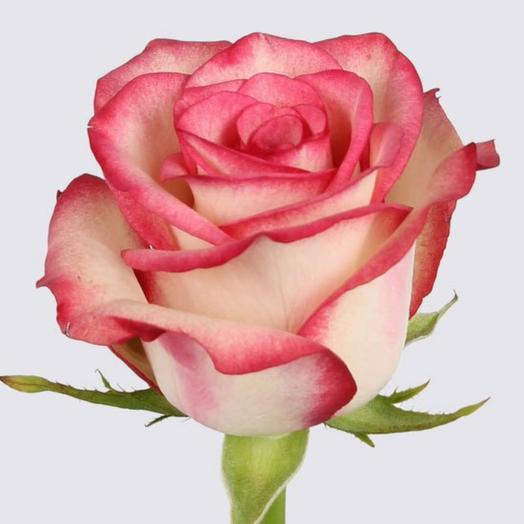Роза Палома(Эквадор 60см)