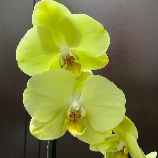 Орхидея фаенопсис. Отцвела