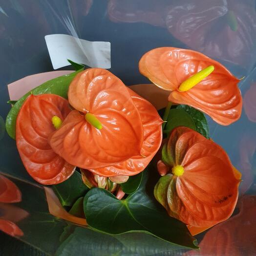 Антуриум оранжевый