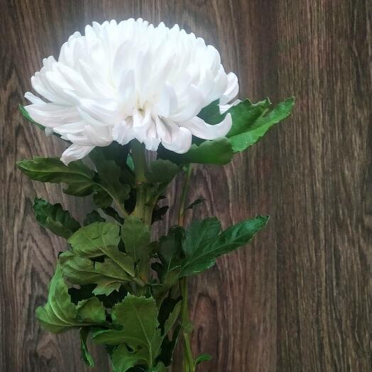 Хризантемы Антонов белый