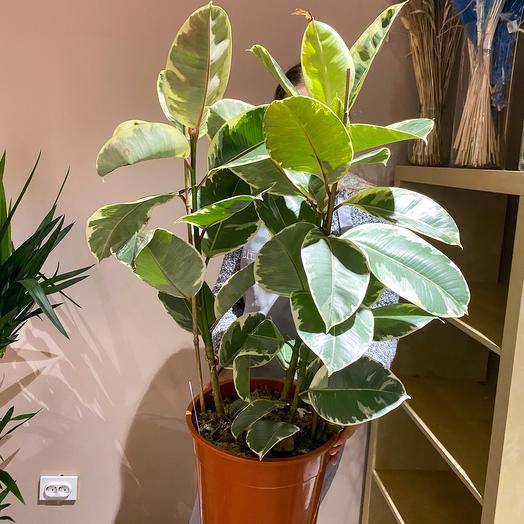 Комнатное растение фикус эластика робуста