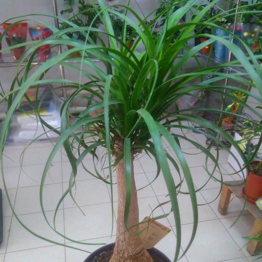 Комнатное растение. Налина