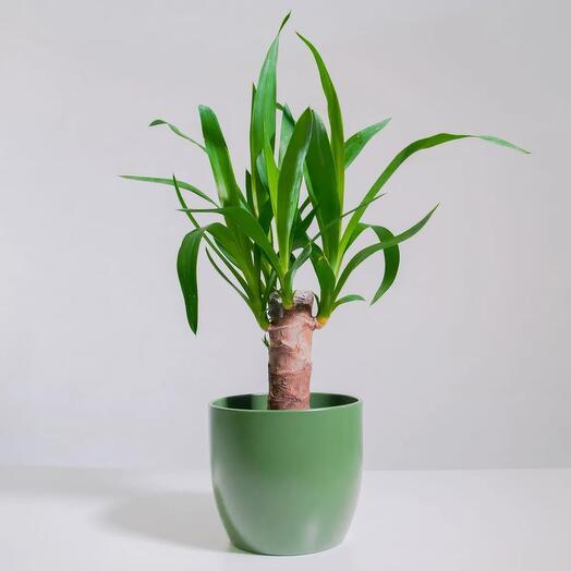 """Растение """"Юкка штамбовая"""" пересаженное в Зеленый горшок"""