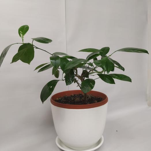 Комнатное растение Цитрофортуннела