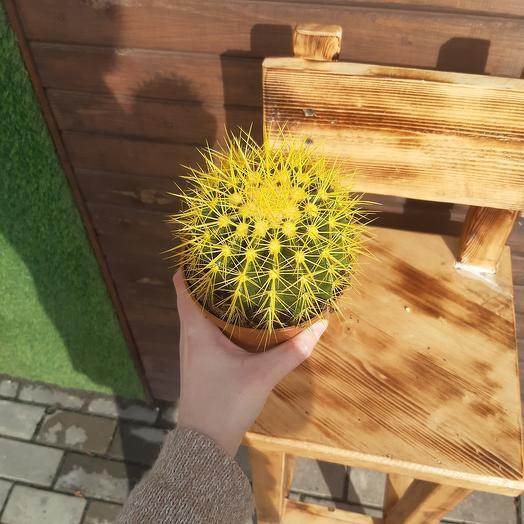 Жёлтый кактус