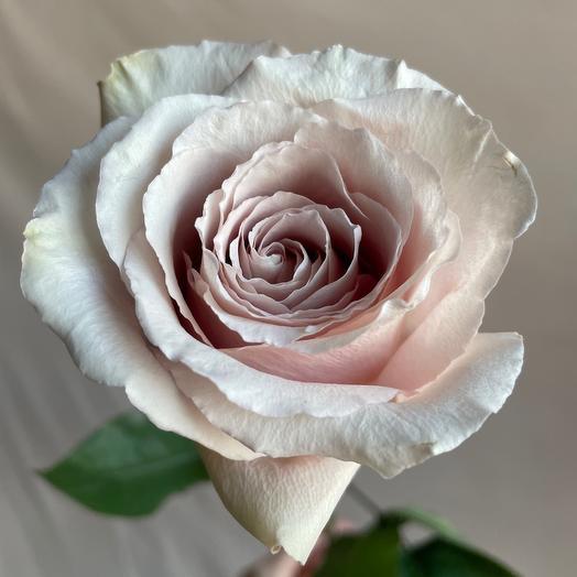 Роза Квиксэнд 60 см