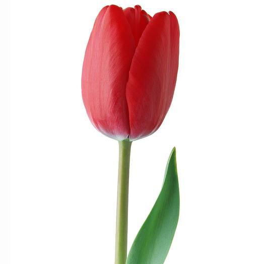 Тюльпан красный поштучно Голландия