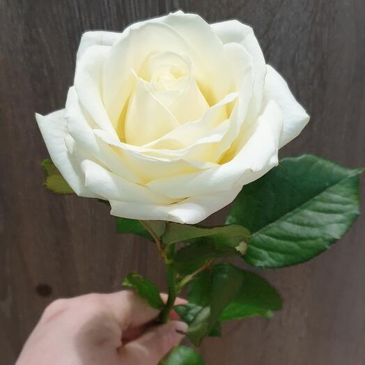 Роза Доломити 60 см