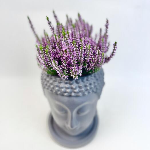 Растение Каллуна в кашпо Будда