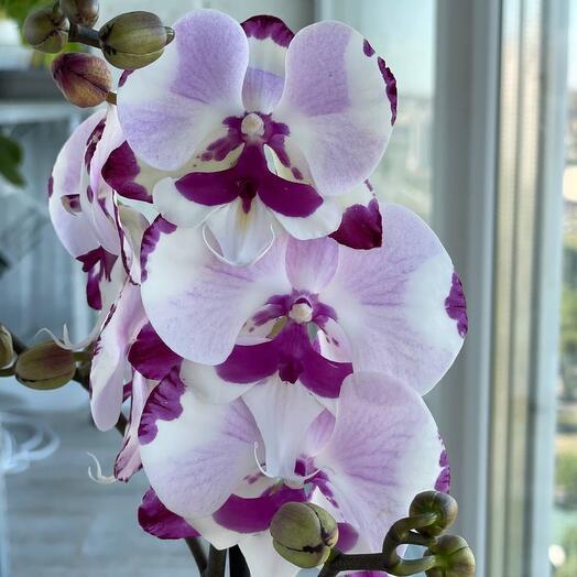 Орхидея фаленопсис Комнатное растение