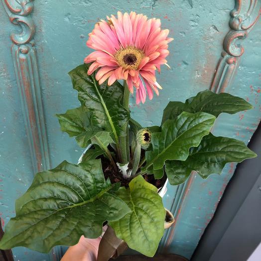 Гербера горшечная : букеты цветов на заказ Flowwow