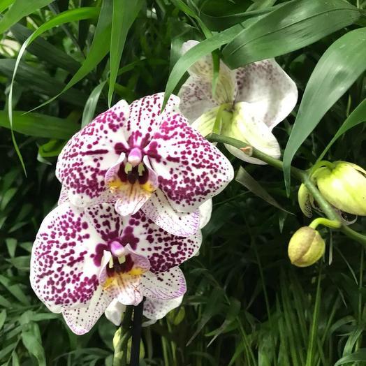 Фаленопсис Пёстрый: букеты цветов на заказ Flowwow