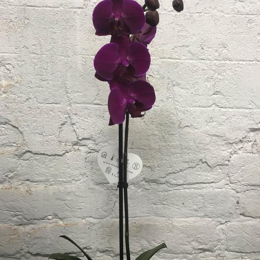 Орхидея Фиолетовая: букеты цветов на заказ Flowwow