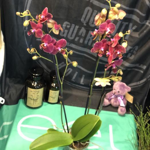 Стильная орхидея: букеты цветов на заказ Flowwow