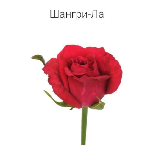 Роза «Шангрила» 40 см