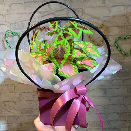 Колеус в подарочной упаковке