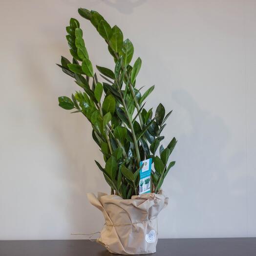 Комнатное растение Замиокулькас высокий
