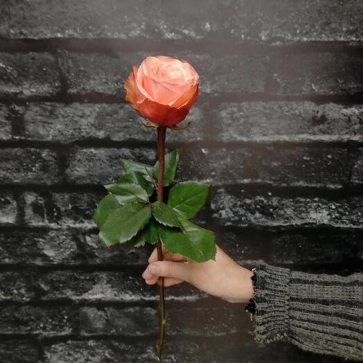 Роза пионовидная садовая Кахала 50см