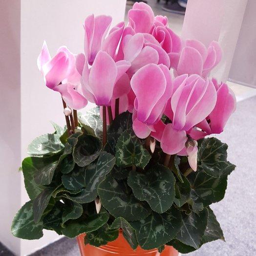 Цикламен: букеты цветов на заказ Flowwow