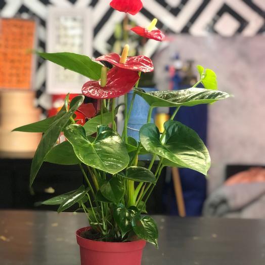 Комнатное растение женское счастья